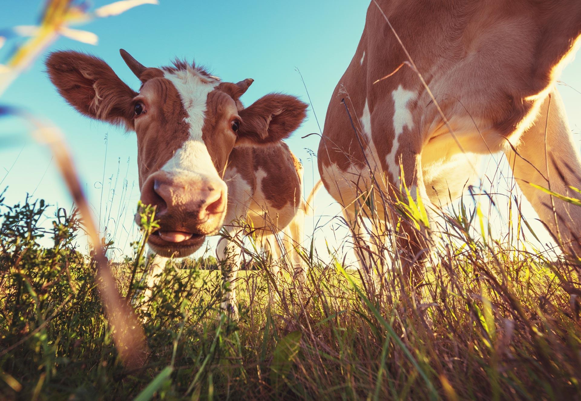 картинка корова жует траву цвета характерны для