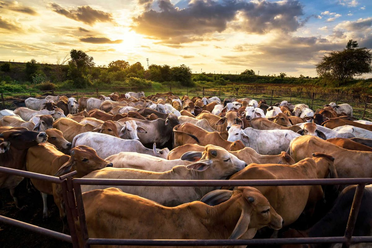 group of cow in cowshed