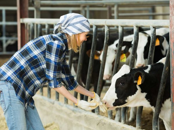 Cows Mastitis: preventative measures