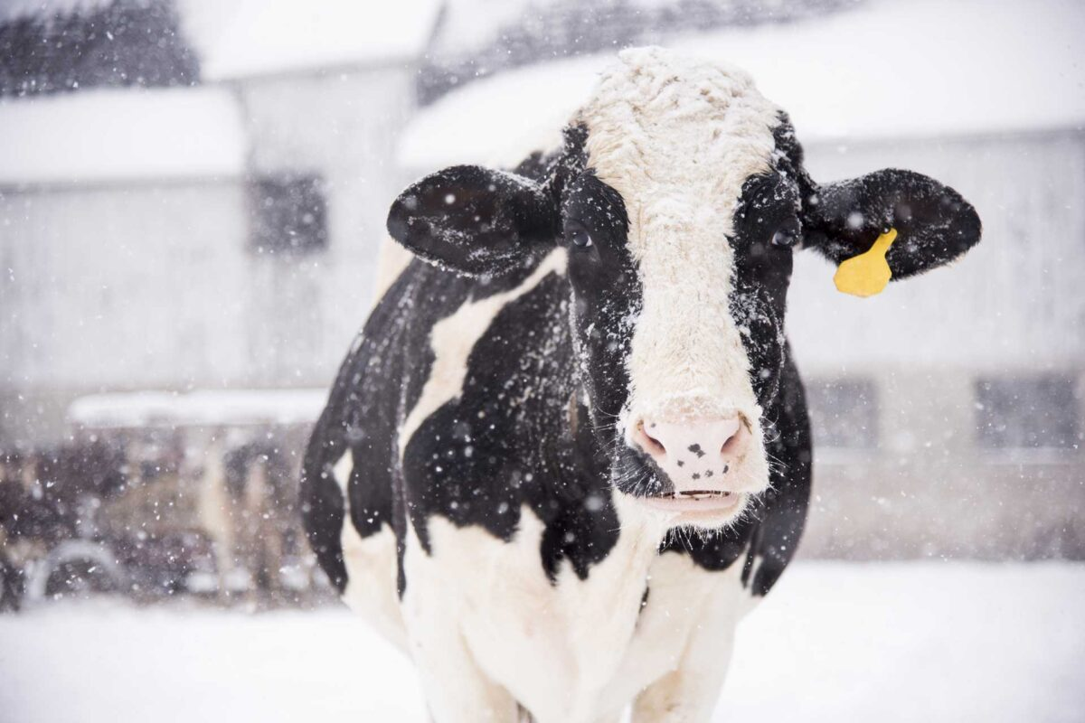 christmas and winter cow